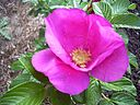 128px-Rose_rosa_rugosa_pink.jpg