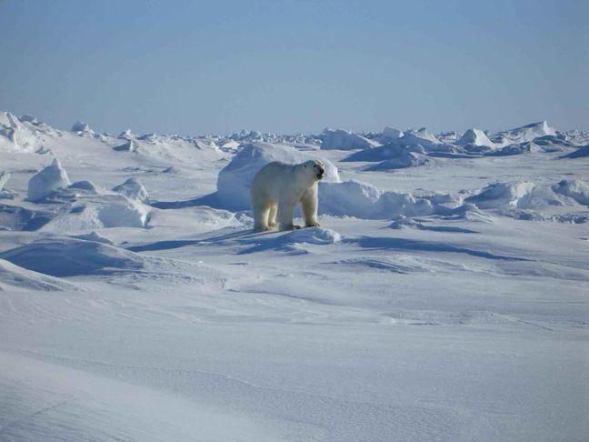 800px-Polar_white_bear_ursus_maritimus.jpg
