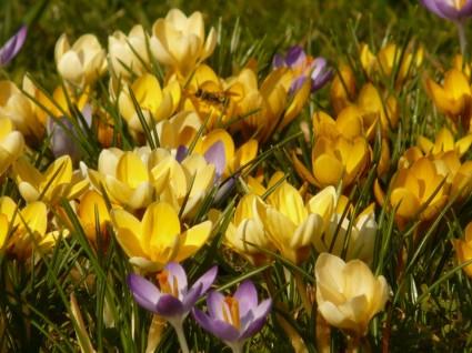 crocus_flower_spring_227076.jpg