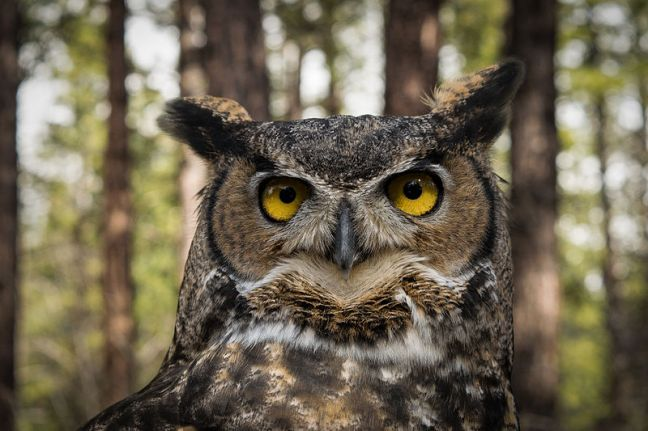 800px-Great_Horned_Owl_in_Oregon-1.jpg