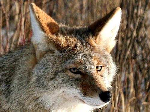 coyote-bingfreeuselicense1.jpg
