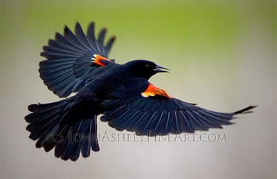 male+Redwinged+Blackbird-2.jpg
