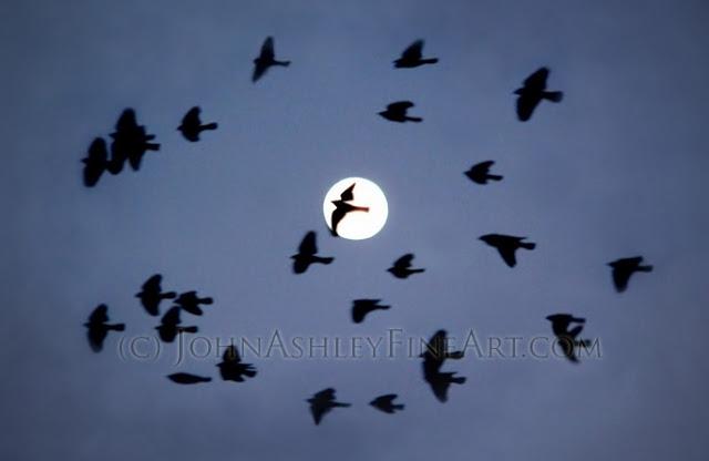 winter+flock+Redwinged+Blackbirds.jpg