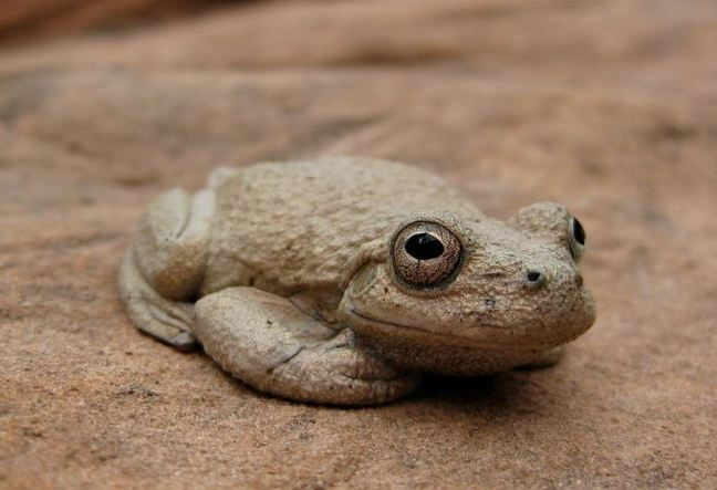 Canyon-tree-frog.jpg