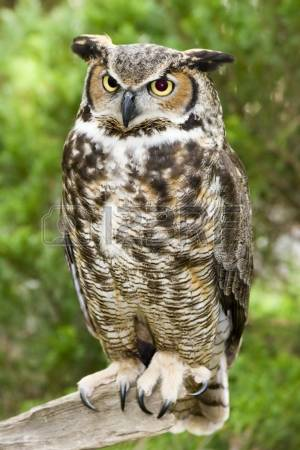 17131533-great-horned-owl.jpg