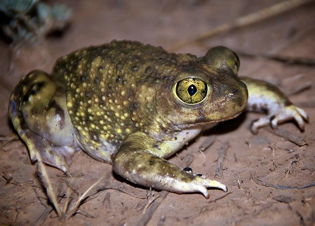 north-america-spadefoot-toad-625x450.jpg