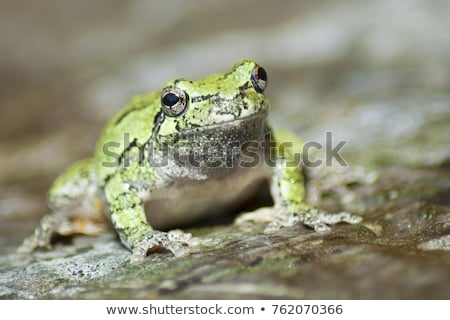 gray-tree-frog-on-rock-450w-762070366.jpg