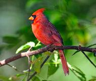 male-northern-cardinal-17596909.jpg