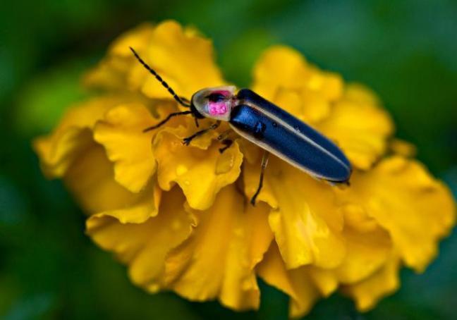 fireflies.adapt.676.1.jpg