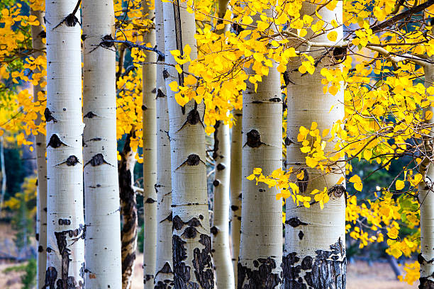 aspen-tree-autumn-picture-id492015646.jpg