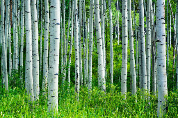 aspen-trees-summer-forest-picture-id816549574.jpg