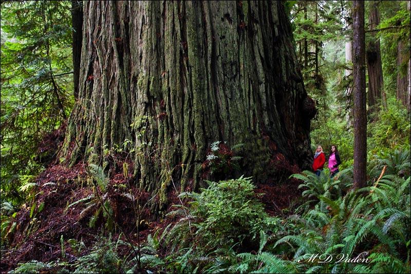 big_redwood_400.jpg