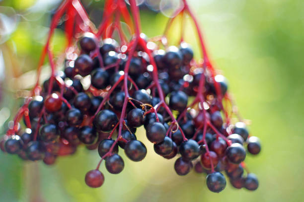 closeup-of-blue-elderberries-picture-id1006006684.jpg