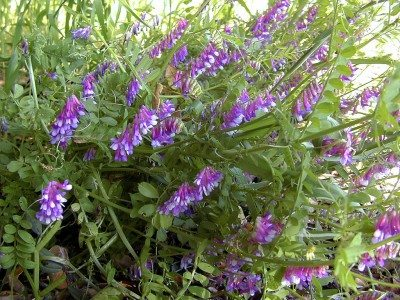 hairy-vetch-400x300