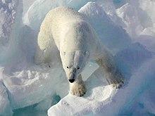220px-Polarbearonice.jpg