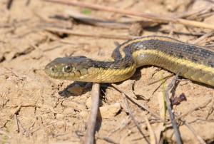 giant-garter-snake-reptile-300x202.jpg